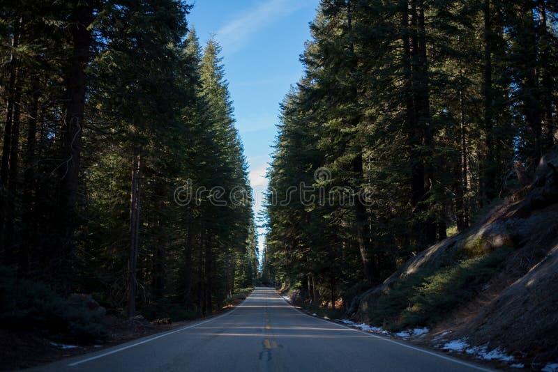 Un bosque hermoso poblado con los árboles más grandes del mundo imagen de archivo