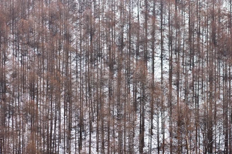 Un bosque llenado de los árboles marchitados altos, marrones imágenes de archivo libres de regalías