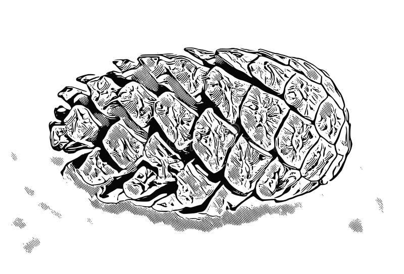 Un bosquejo de un cono del pino imagen de archivo