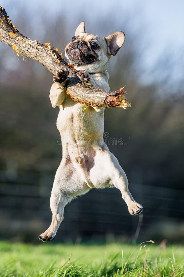 Un bouledogue français pâle sautant pour un bâton énorme images libres de droits