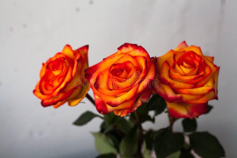 Un bouquet de belles roses oranges lumineuses fraîches avec une teinte rouge photographie stock libre de droits