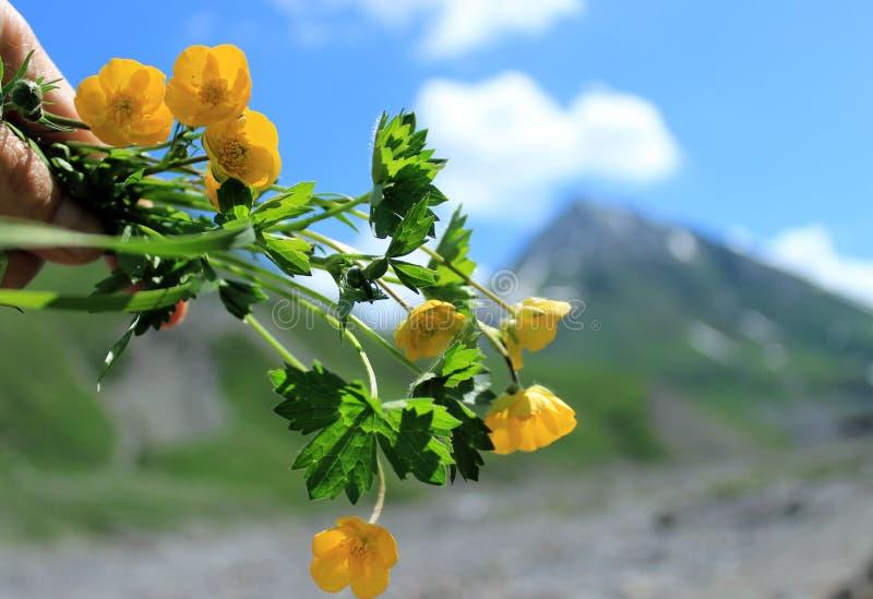 Un bouquet des fleurs jaunes dans la main sur le fond des montagnes et du ciel bleu photos libres de droits