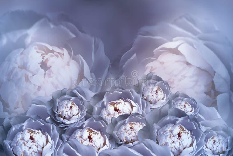 Un bouquet des fleurs des pivoines blanches bleues sur un fond tramé trouble Composition en fleur de vintage Carte de voeux images libres de droits