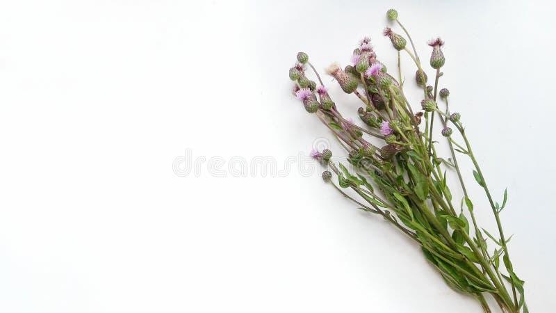 Un bouquet des herbes sauvages sur le fond blanc photographie stock libre de droits