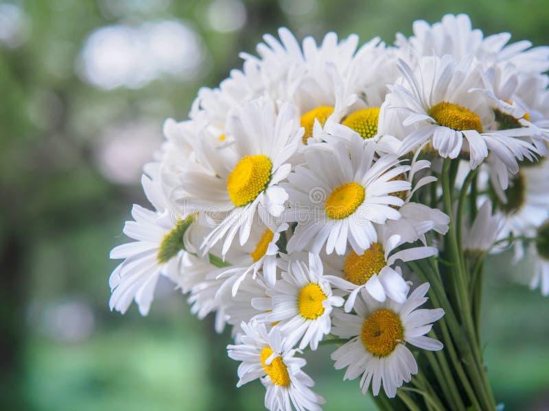 Un bouquet des marguerites blanches de champ sur un vert a brouillé le fond Fleurs avec les pétales blancs et les pistils jaunes  images libres de droits