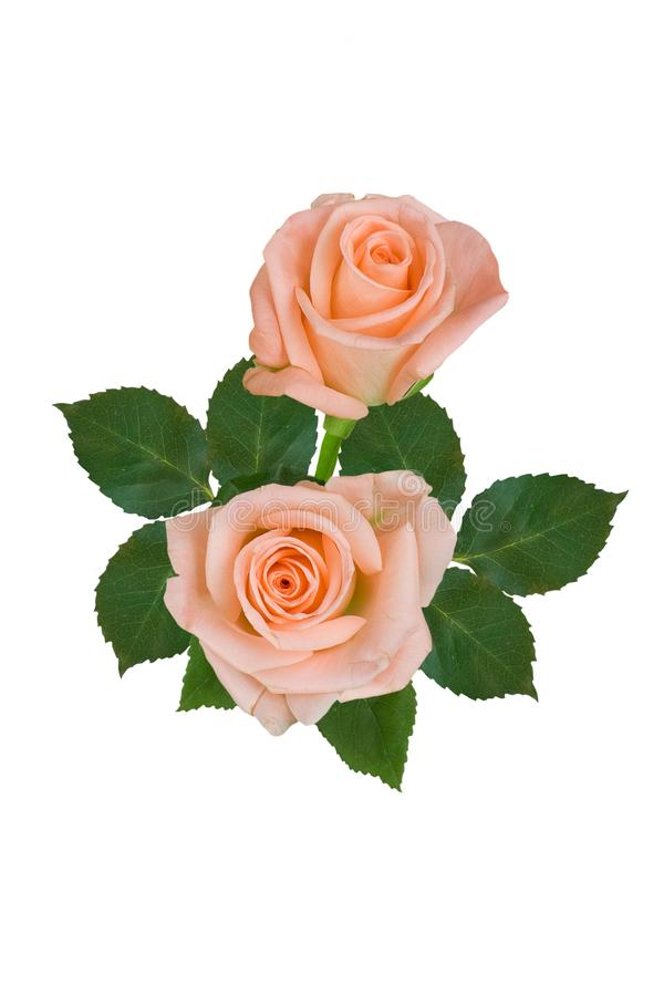 Un bouquet des roses roses sur un fond blanc D'isolement photo stock