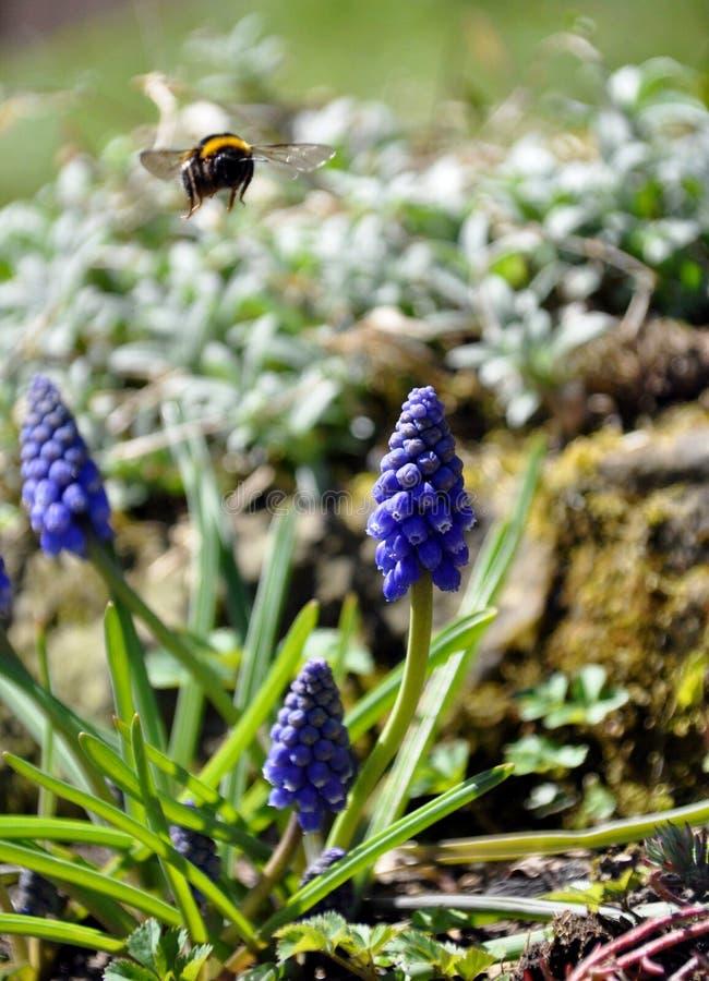 Un bourdon de vol dans un jardin avec des fleurs photo libre de droits