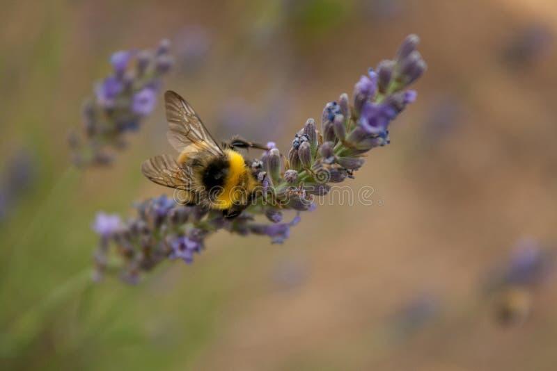 Un bourdon recueille le nectar d'une fleur de lavande images libres de droits