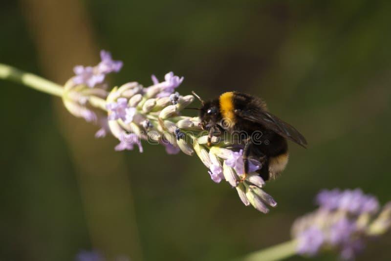Un bourdon recueille le nectar d'une fleur de lavande photo libre de droits