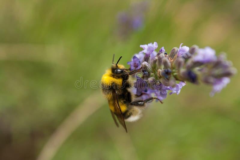 Un bourdon recueille le nectar d'une fleur de lavande photo stock