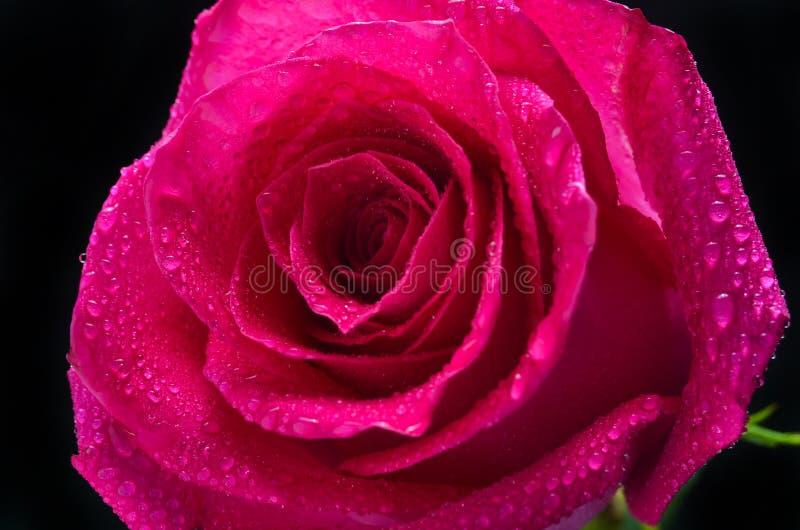 Un bourgeon d'une rose rose de Néerlandais d'isolement sur un fond noir photo stock