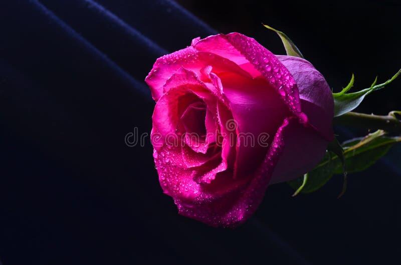 Un bourgeon d'une rose rose de Néerlandais d'isolement sur un fond noir photographie stock