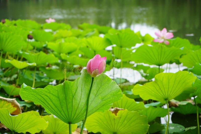 Un bourgeon de lotus se tenant en rivière quand il pleut image libre de droits