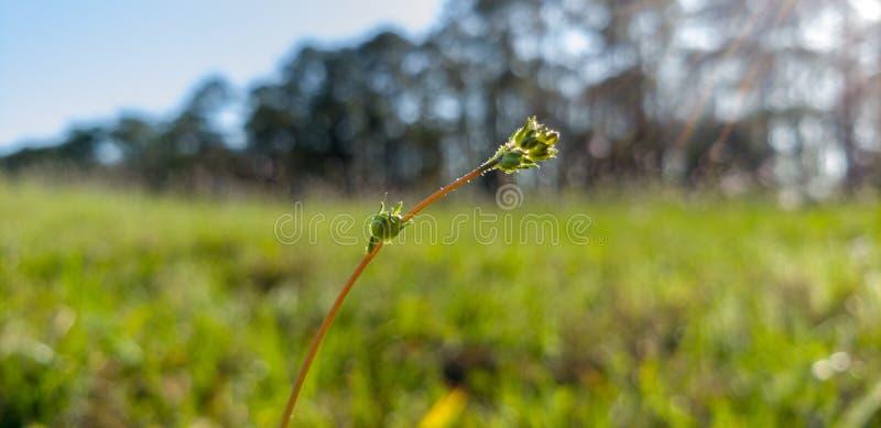 Un bourgeon singulier, bourgeonnant dans un monticule herbeux photographie stock libre de droits