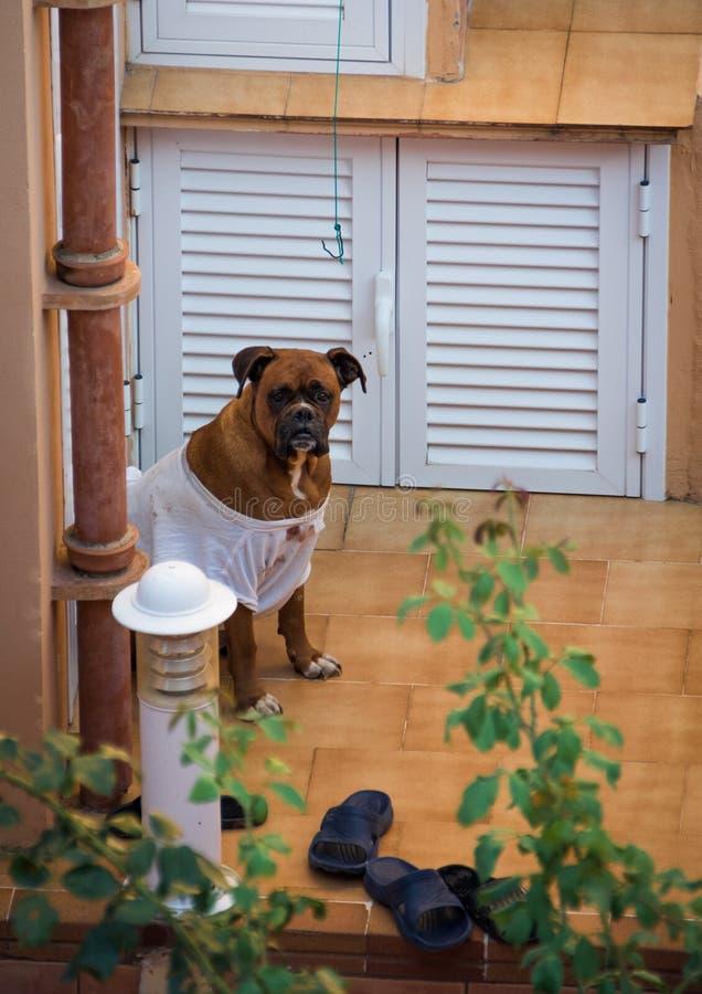 Un boxeador divertido de la raza del perro se sienta en una camiseta sucia imágenes de archivo libres de regalías