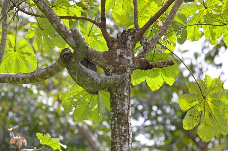 Un bradipo Tre-piantato immagini stock libere da diritti