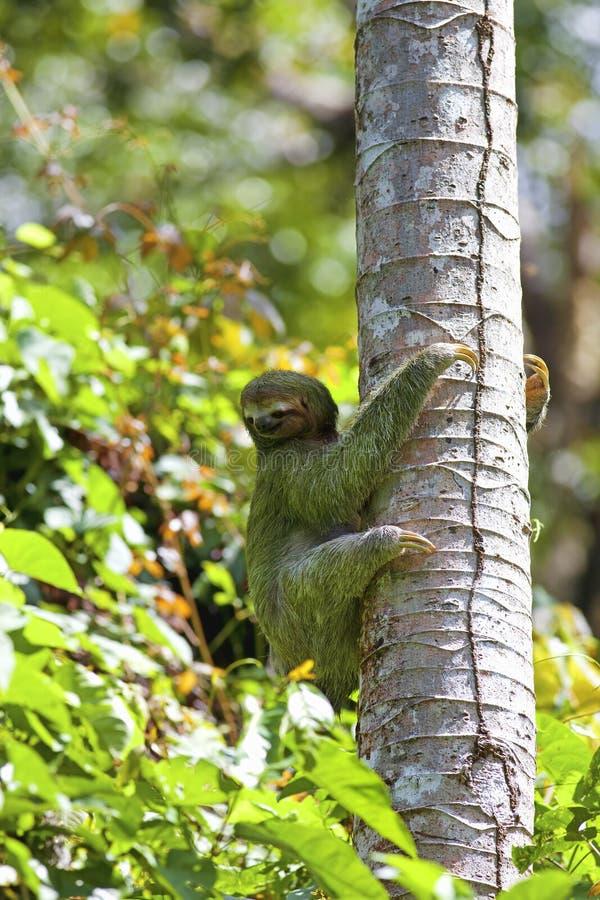 Un bradipo Tre-piantato fotografie stock