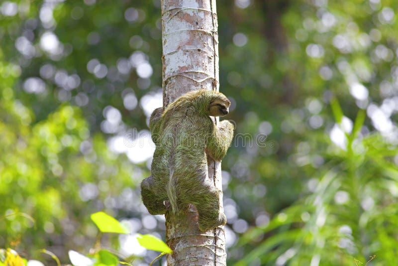 Un bradipo Tre-piantato fotografia stock
