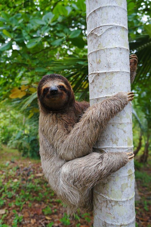 Un bradipo tridattilo che scala su un albero immagine stock libera da diritti