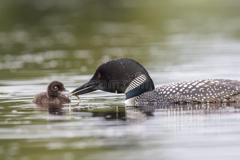 Un bribón común trae un pescado a su bebé de una semana - Haliburton hola fotografía de archivo