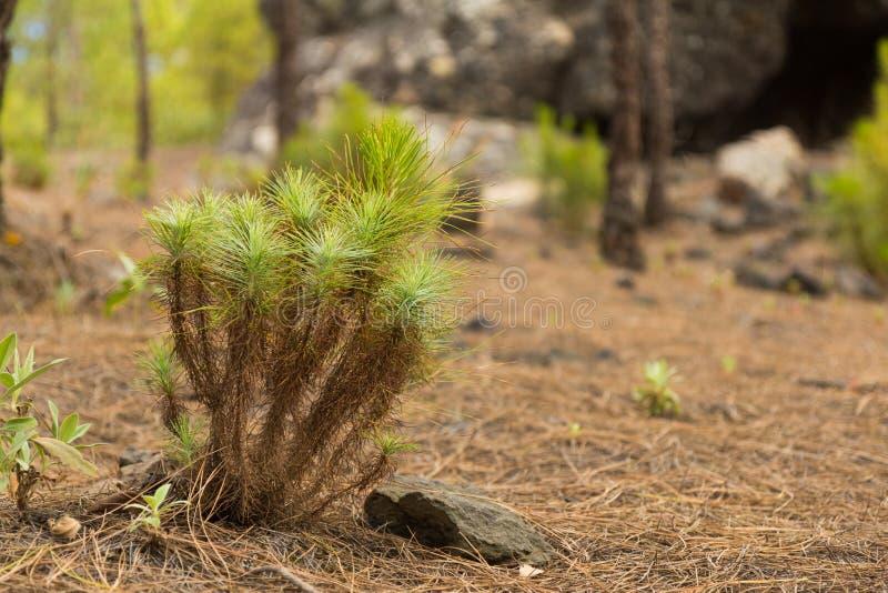 Un brote amarillo del pino en el parque natural Tamadaba foto de archivo