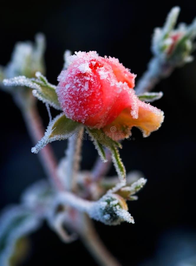 Un brote color de rosa escarchado foto de archivo libre de regalías