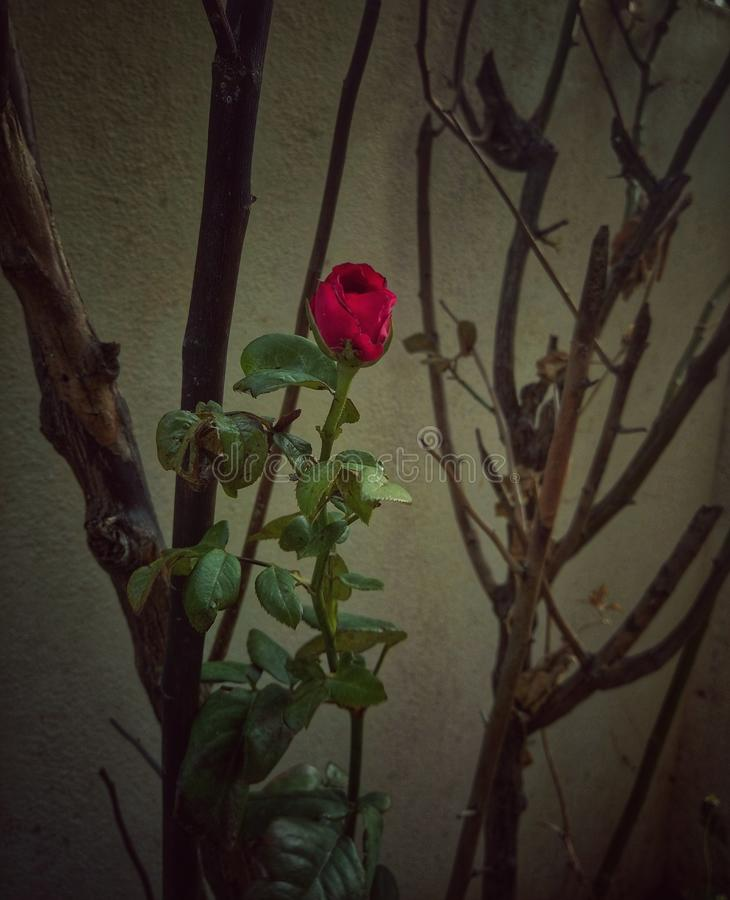 Un brote color de rosa precioso en planta ascendente casi secada fotografía de archivo