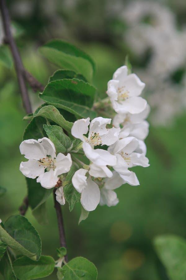 Un brunch de pommier de floraison image libre de droits