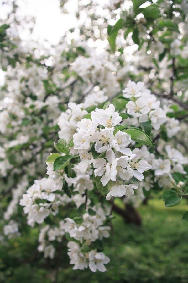Un brunch de pommier de floraison images libres de droits