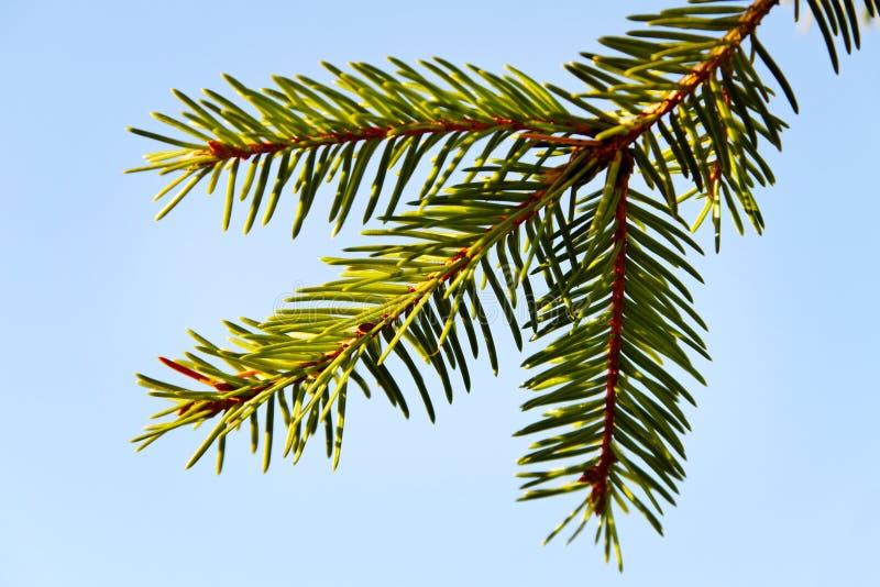 Un Brunch Del árbol De Abeto. Imágenes de archivo libres de regalías