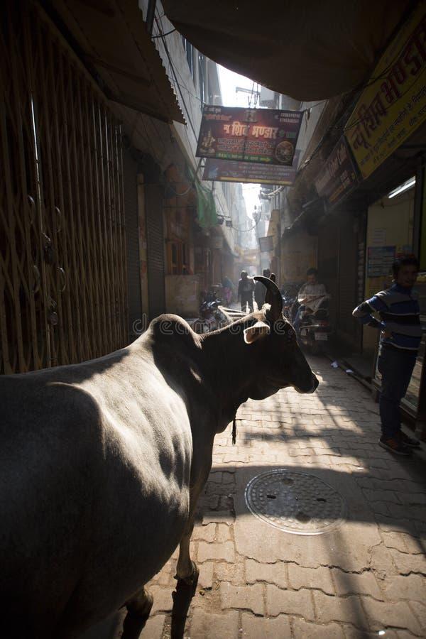 Un buey en los callejones traseros de Varanasi foto de archivo libre de regalías