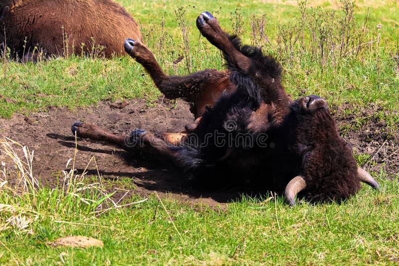 Un bufalo che prende un bagno della polvere immagine stock