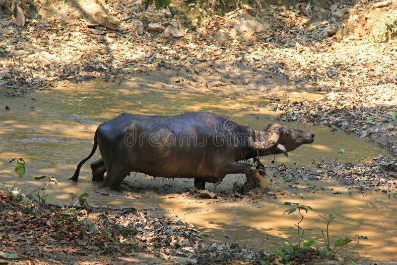 Un bufalo d'acqua selvaggio che cammina in uno stagno fangoso fotografie stock libere da diritti