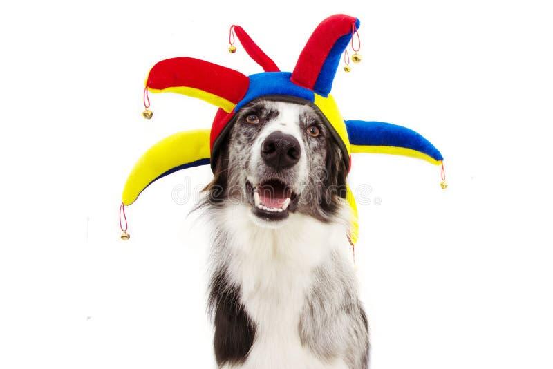 Un buffone circolo di cani da circo di confine, Halloween o nuovo anno vestito da clown isolato su fondo bianco fotografia stock libera da diritti