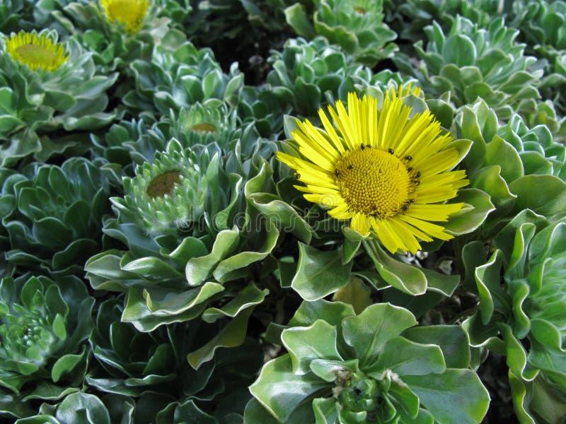 Un buisson à feuilles persistantes fleurissant jaune photographie stock libre de droits