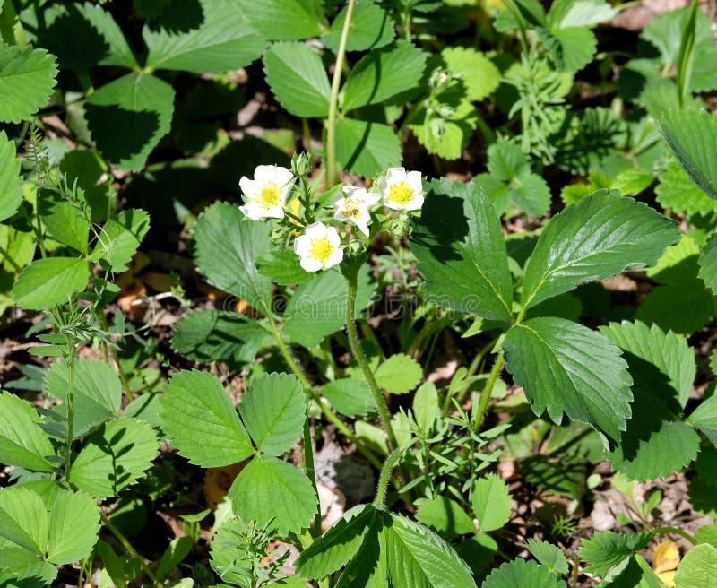 Un buisson de fraise de floraison avec les fleurs blanches sur une correction verte dans une fin de jardin  photo stock