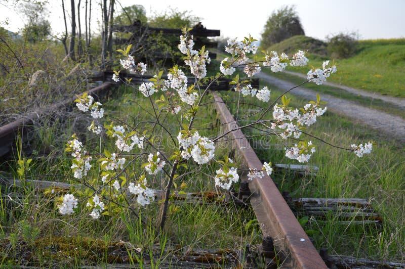 Un buisson sauvage se développe et s'épanouit au milieu d'une ligne ferroviaire le long des voies ferrées La ligne, cependant, es images libres de droits