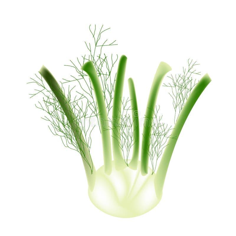 Un bulbo del hinojo en un fondo blanco libre illustration
