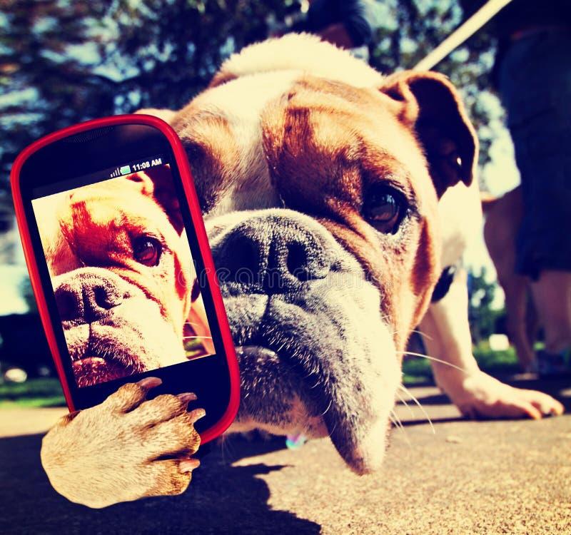 Un bulldog sveglio con un telefono cellulare che prende un selfie fotografie stock