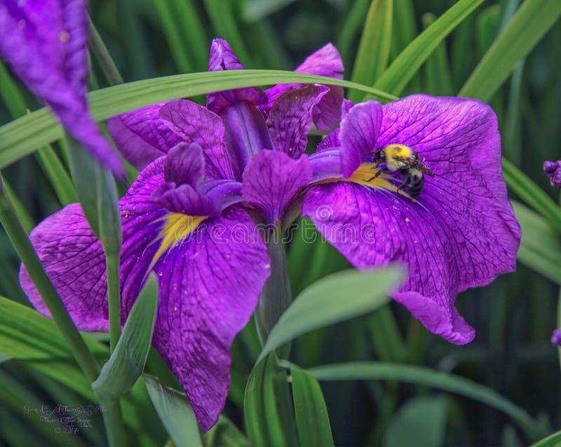 Un'bumbly-ape che fiuta fuori il potenziale del polline dell'iride immagine stock libera da diritti