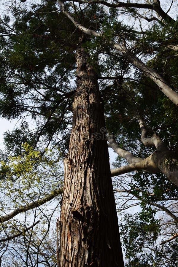 Un cèdre japonais photo stock