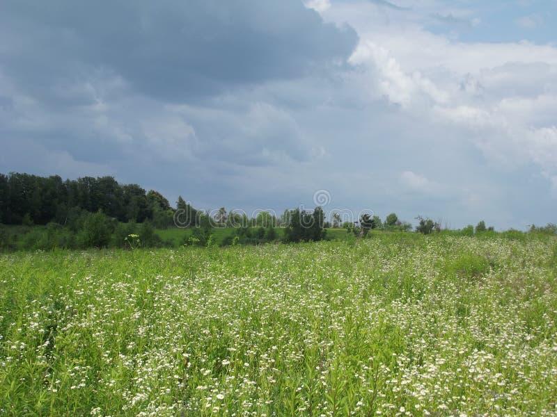 Un césped punteado con las pequeñas flores blancas fotografía de archivo