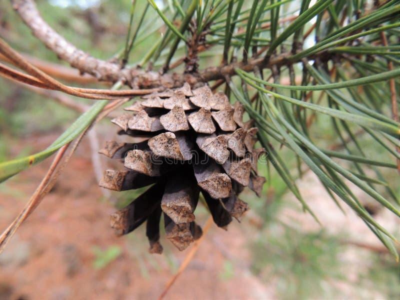 Un cône frais de pin sur un pin images libres de droits