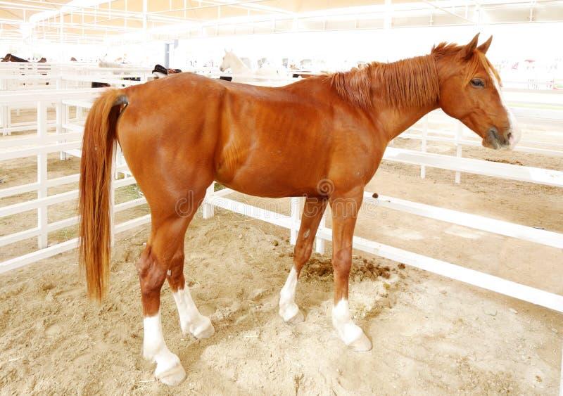 Un caballo árabe marrón hermoso con blanco se alza foto de archivo libre de regalías