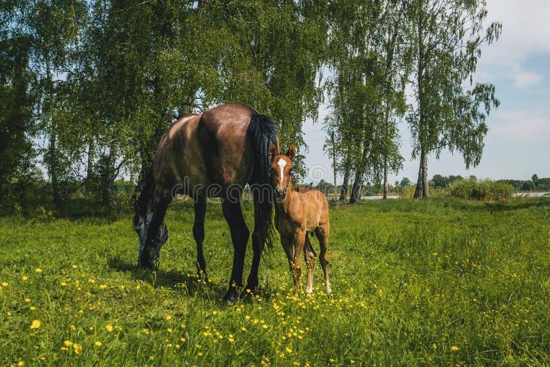 Un caballo con un potro recién nacido pasta en un prado en tiempo soleado fotos de archivo