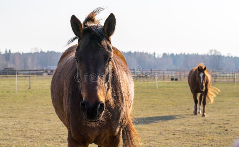 Un caballo de bahía vino cerca y miraba en la cámara fotos de archivo libres de regalías