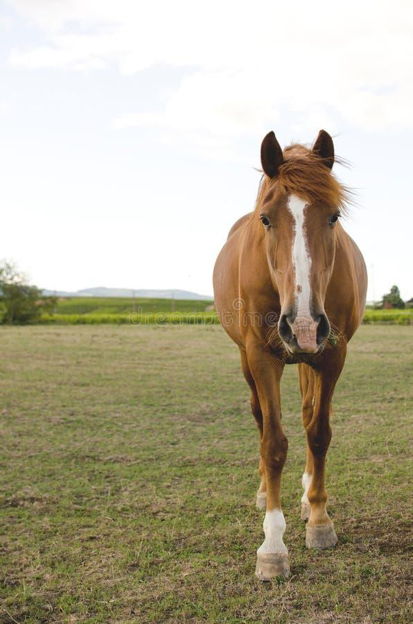 Un caballo de la frente en un prado foto de archivo