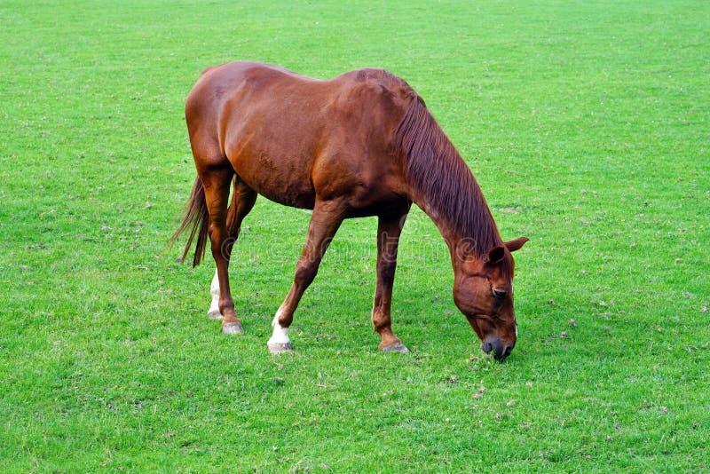 Un caballo está pastando en un campo verde imagen de archivo libre de regalías