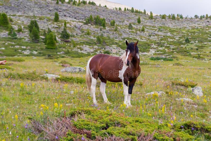 Un caballo fuerte grande del color marrón y blanco se coloca en el midd imagen de archivo