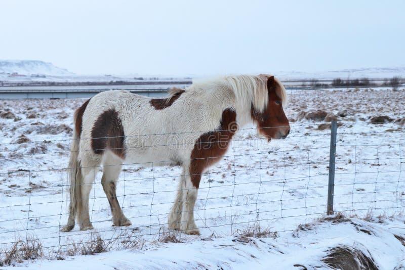 Un caballo islandés fotografía de archivo